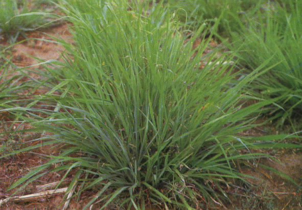Digitaria Eriantha